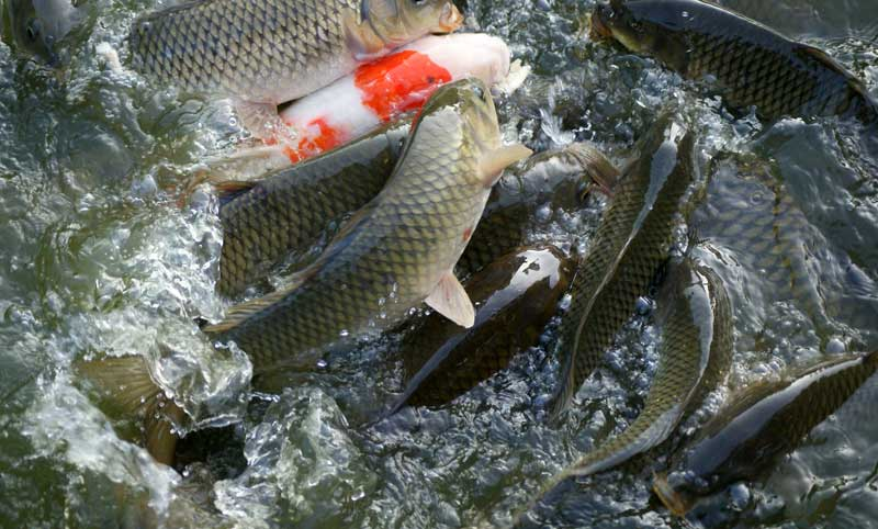 Fish Farming in India